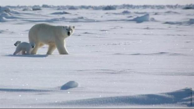 ep oso polarsu cria