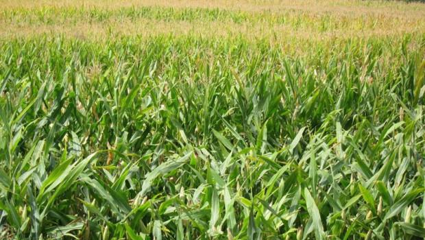 ep archivo   campo de maiz transgenicos