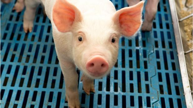 pig genus cerdo animal farming agriculture