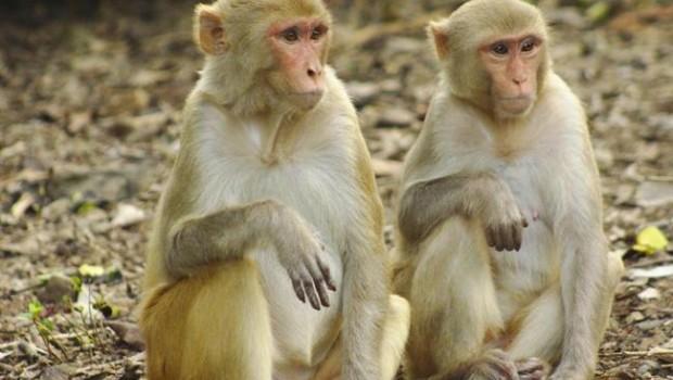 ep macaco mono rhesus